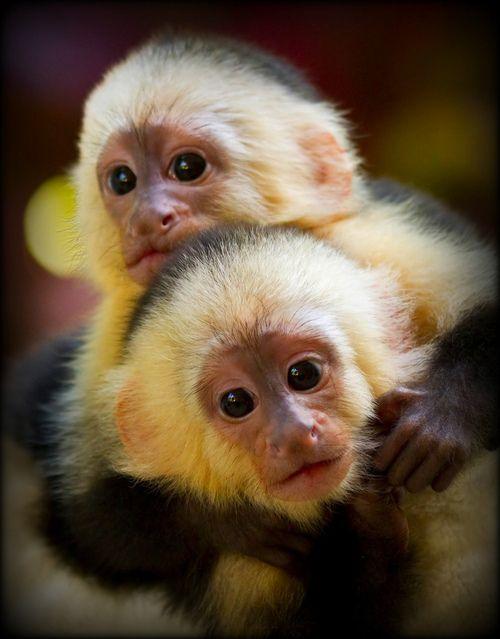 Baby Capuchin Pair