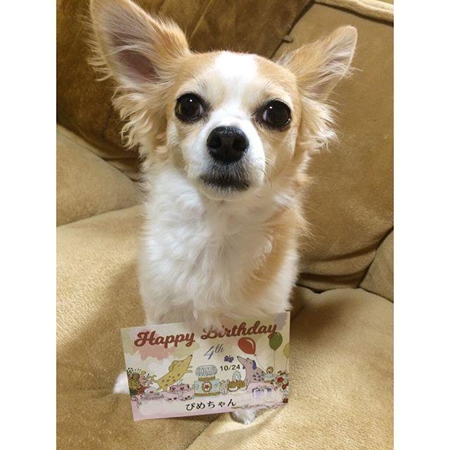 ペット保険のアニコムさんからバースデーのハガキ届きました💓嬉しいねぇ😆💌 ぴめちゃんお誕生日は10月24日だよ✨みんな覚えててほしいなぁ🎉  #love #cute #dog #animal #chihuahua #chihuahualove #chihuahualover #onlychihuahuas #instapets #instadog #dogstagram #チワワ #ちわわ #치와와 #吉娃娃 #愛犬 #ブサカワ #親バカ部 #わんこなしでは生きていけません会 #happybirthday #バースデー #誕生日 #誕生日月 #アニコム #ペット保険