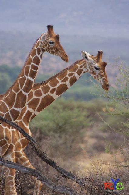 Giraffes in the Rain.