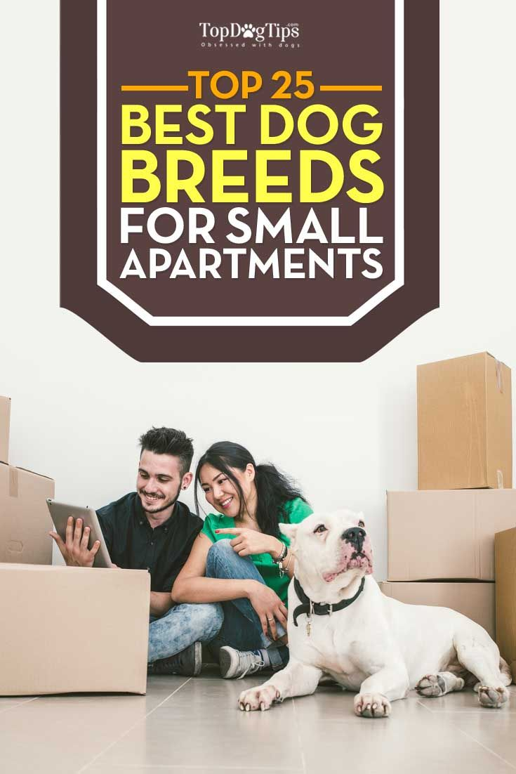 Top Best Dog Breeds for Small Apartments. If you're thinking of welcoming a new furry addition to your family there are many things to consider including the dog's temperament, energy levels and, of course, the size of the dog. The size of your dog will really be important if you are living in a small home. The best dog breeds for small apartments are ideal if you don't have a lot of indoor space. #dogs #breeds #apartments b