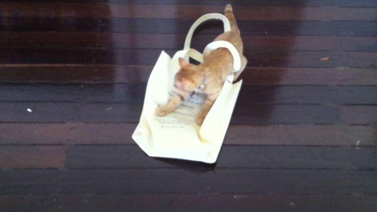 Kitten vs Shopping Bag  #Autumn #kitten #gingerkitten #kittenplaying