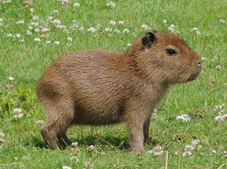 Baby capybara. They're the world's largest rodent, but they sure are cute little buggers.