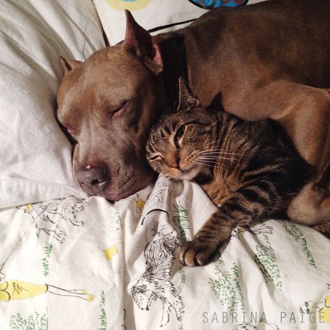 Lessons in cuddling: Pit bulls and tabby cat show us how it's done