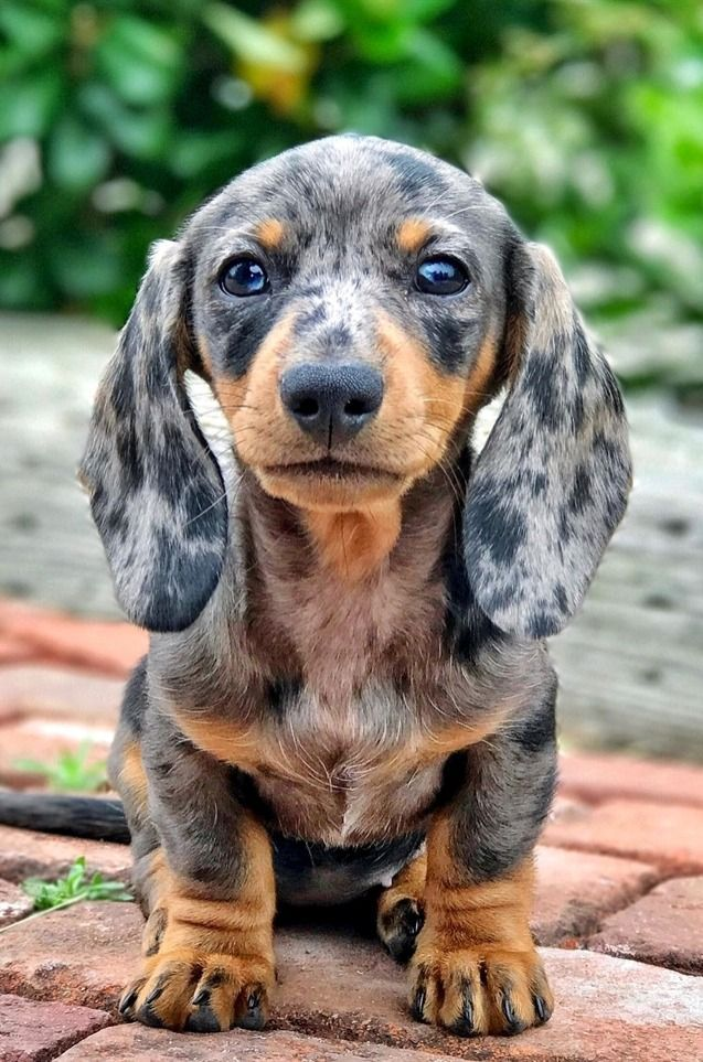 Dachshunds The Cutest Dogs Cute Dogs Puppies Dachshund Dog