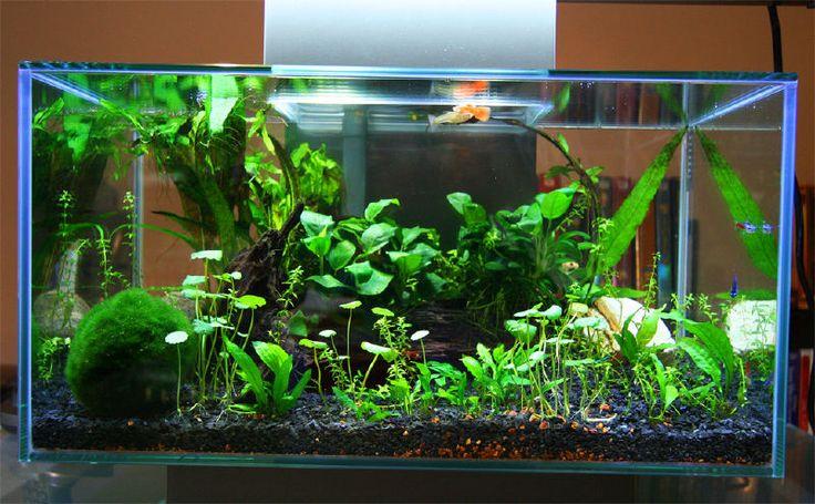 Fluval edge 12 gallon google search aquascapes for Betta fish moss ball