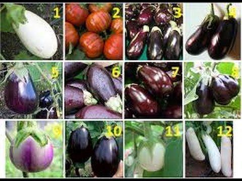 Семена баклажан сорта по созреванию, рослости и вида теплиц