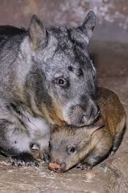 Image result for funny wombat pictures