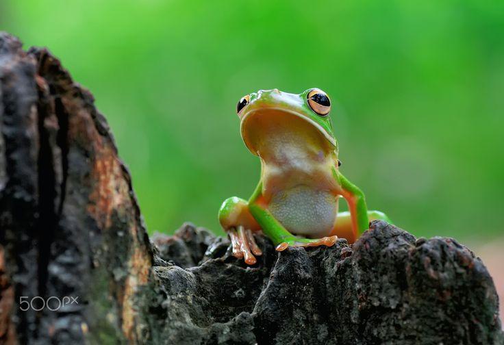 Frog,Dumpy,Tree Frog. - null
