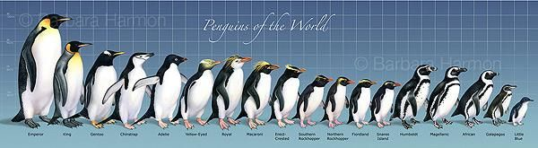 Emperor, King, Gentoo, Chinstrap, Adelie, Yellow-Eyed, Royal, Macaroni, Erect-Crested, Southern Rockhopper, Northern Rockhopper, Fiordland, Snares Island, Humboldt, Magellanic, African, Galapagos, Little Blue.
