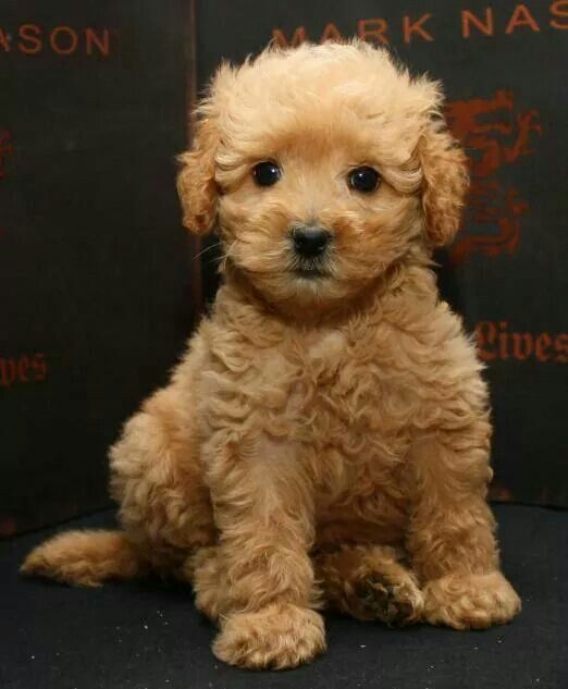 Golden Doodle Pup Cavapoo Puppies Cute Dogs Dogs Puppies