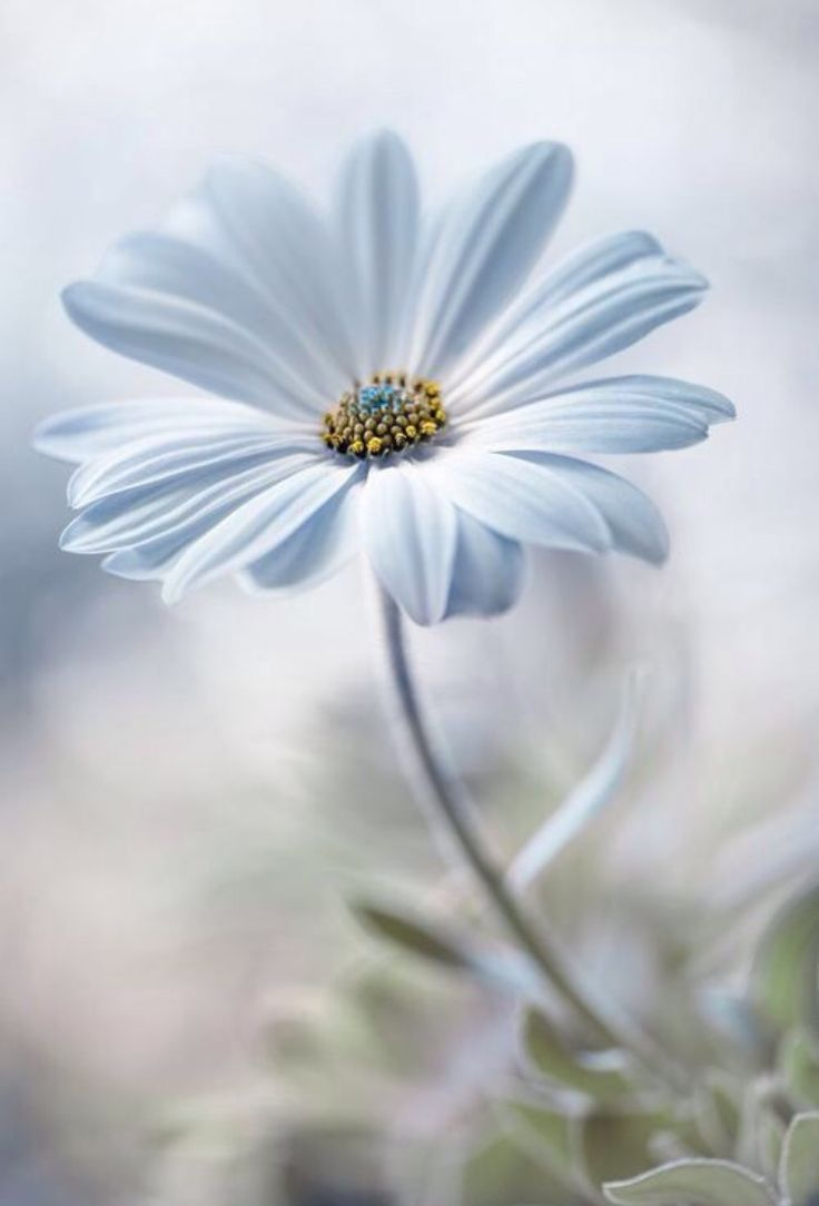 best cosmos images on pinterest cosmos flowers white flowers