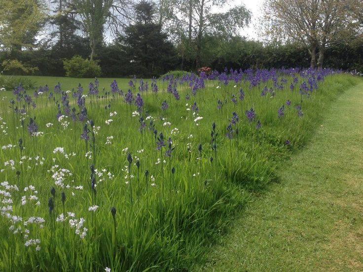 Camassia - grass parterre, long grass