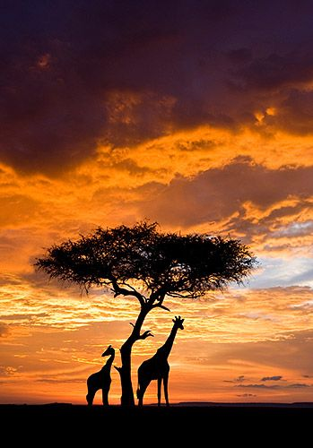 Silhouetted Giraffes and lone tree Sunset Masai Mara Reserve, Kenya