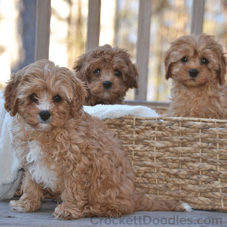 Mini Cavapoo Puppy Litter Puppy Litter Crockett Doodles Doodle Puppy