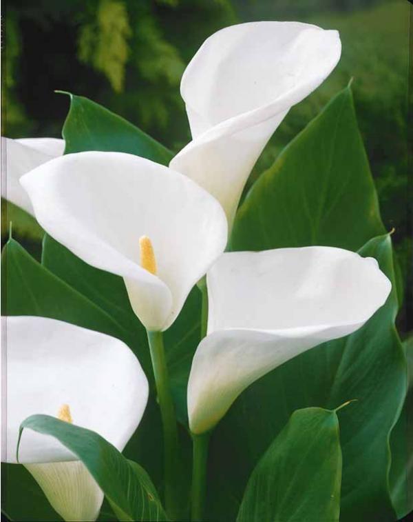 arum blanc  / derrière (déjà ht)