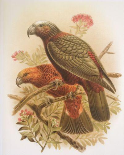 Print of a Kaka from Buller's Birds of NZ