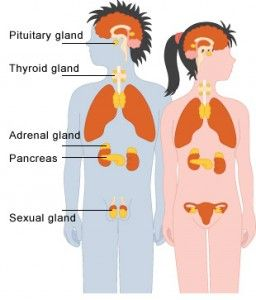 The Endocrine System - TMarticles
