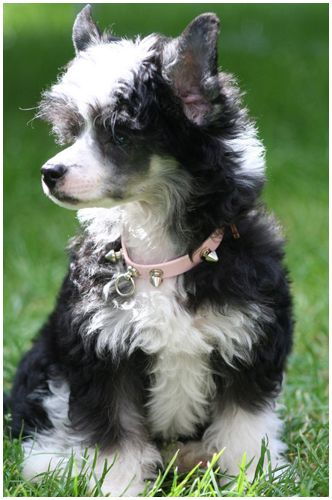 best 30 chinese crested powderpuff images on pinterest