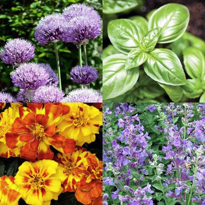Rose Companions to Combat Garden Pests. Clockwise from upper left: Ornamental Allium, Basil, Catmint and Marigold are some of the more popular companion plants used to repel insect pests.