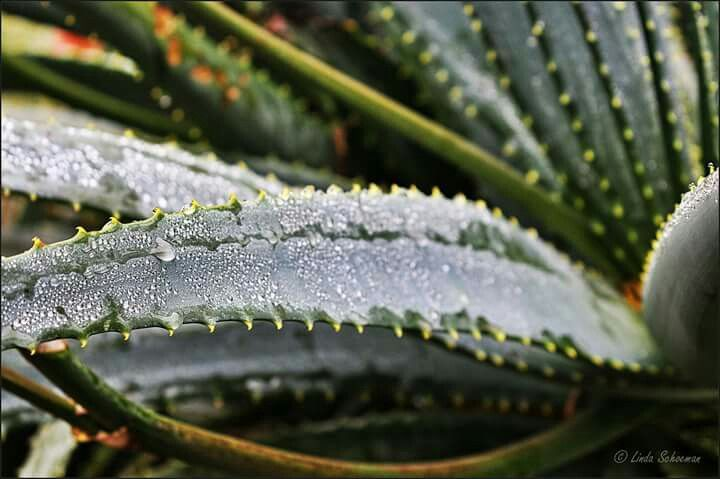 Aloe - Monks Cowl - Drakensberg