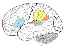 Language Areas of the brain. The Angular Gyrus is represented in orange, Supramarginal Gyrus is represented in yellow, Broca's area is represented in blue, Wernicke's area is represented in green, and the Primary Auditory Cortex is represented in pink.
