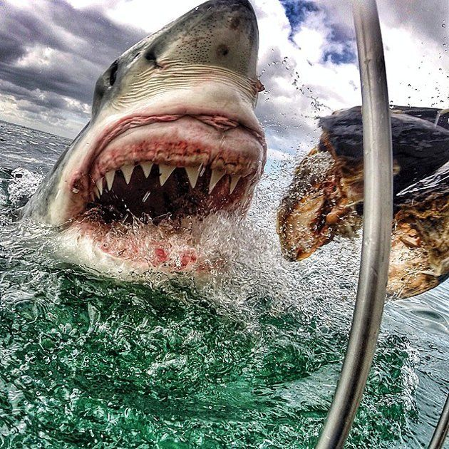 Amanda Brewer took this photo of a Great White Shark while on a trip in South Africa. (Instagram)