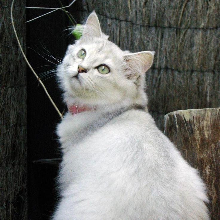 Lexie. #cute #cats #burmilla #catsofinstagram