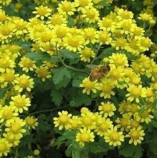 Easy Guide To Grow Pompom Chrysanthemums Chrysanthemum Care Chrysanthemum Growing