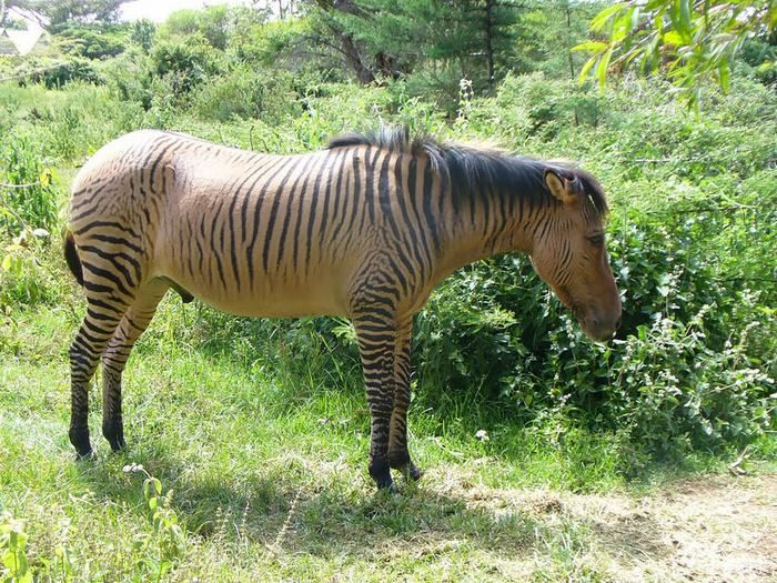 Hybrid animals - Zebroid