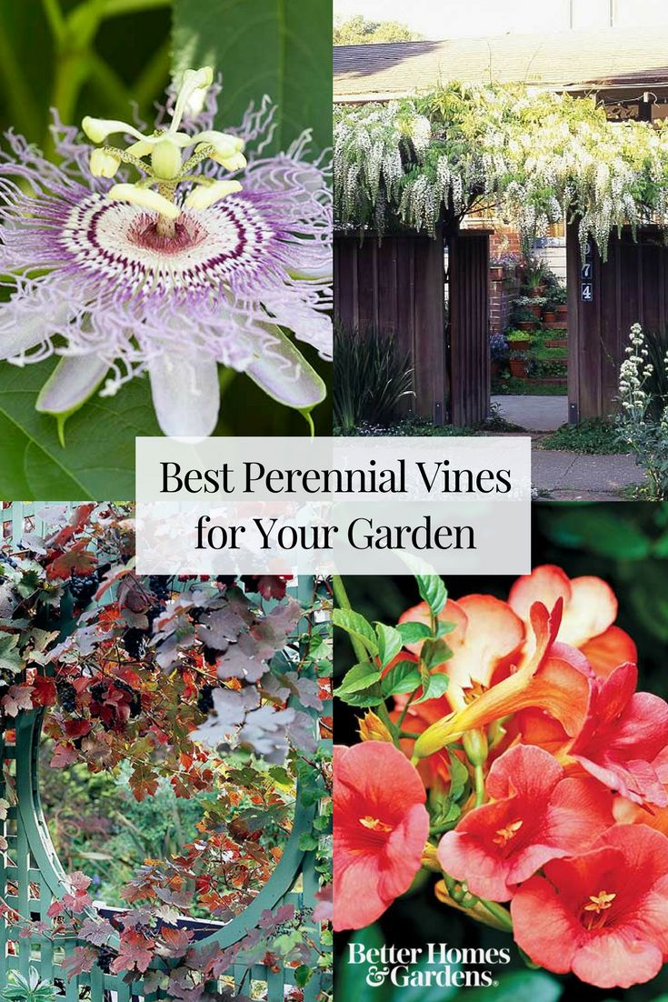 The Best Perennial Vines for Your Garden
