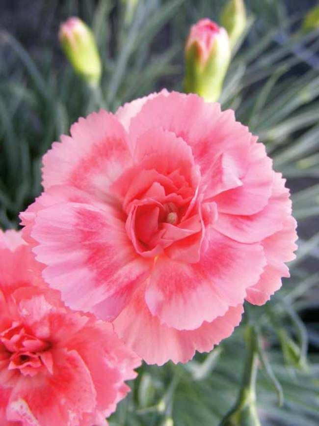 Dianthus Romance Pinks Carnations An Unforgettable Romance Let Yourself Be Drawn Into Its Flirty Layers Of Pink Dianthus Flowers Flowers Flowers Perennials