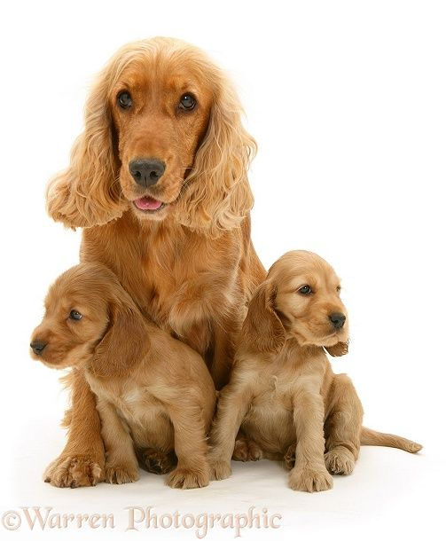 1379 best images about english cocker spaniels on pinterest - Free cocker spaniel screensavers ...
