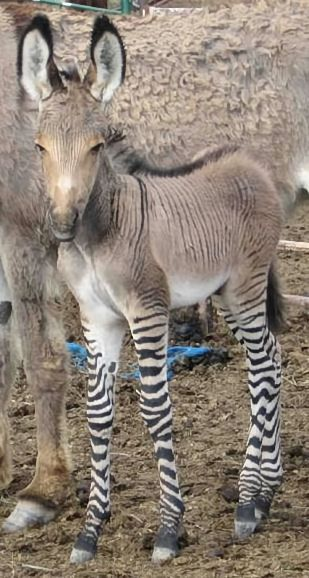 "A ZONKEY Named ""Khumba""! Born at a Mexico Zoo in April 2014; Zoo officials say donkey-zebra mix is very rare. Dad was a donkey. She got her Mom's beautiful legs though! See article/more pics:"