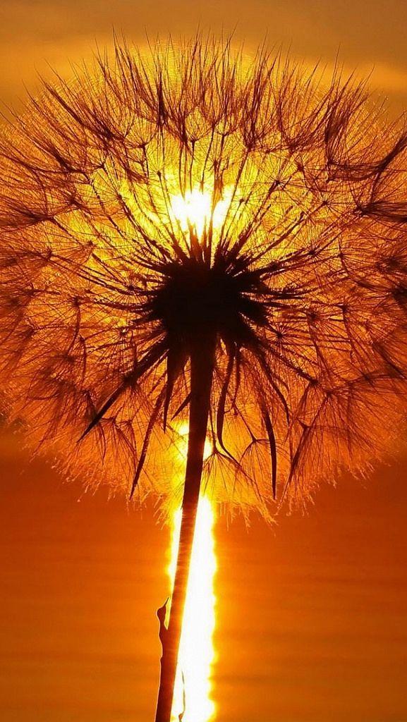 dandelion_light_bright_glare_seeds_feathers_49625_640x1136 (by vadaka1986)