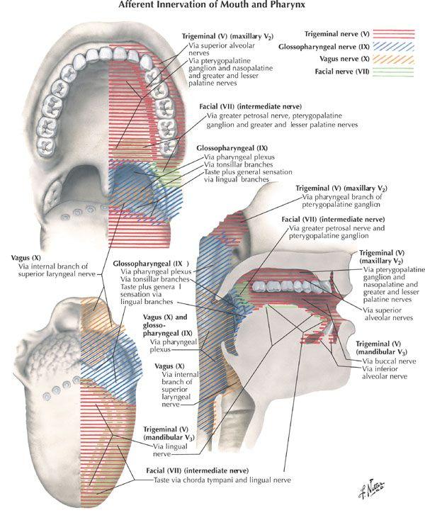 tongue cranial nerve innervation - Google Search | GI | Pinterest ...