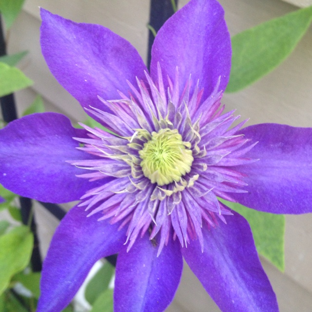 clematis 39 multi blue 39 plants that i love pinterest. Black Bedroom Furniture Sets. Home Design Ideas