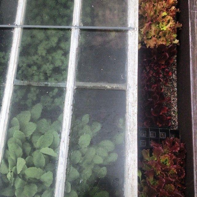 Första plantorna ut i drivbänkarna på avhärdning; sallad, purjo, persilja