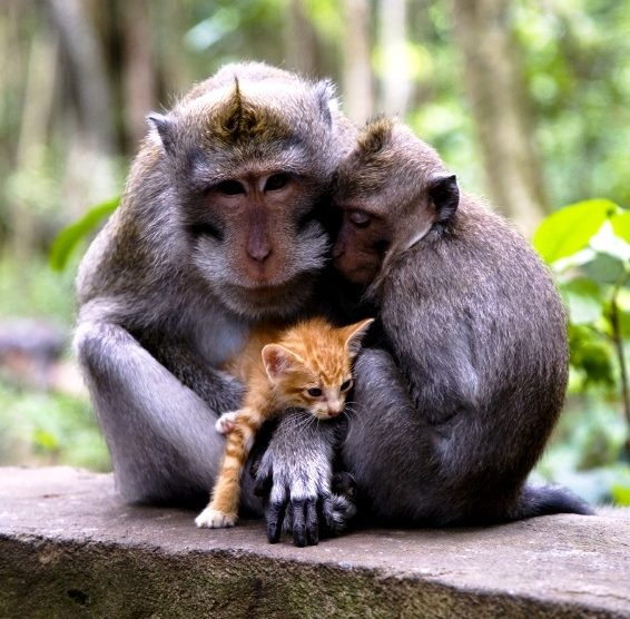 Macaque Attack! Do you remember this? A couple of years ago, a long-tailed macaque in Bali, Indonesia befriended an abandoned kitten, taking care of it just like a pet! He groomed and fed his kitty, and even introduced it to his friends.