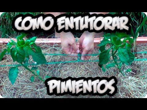 Como entutorar pimientos o chiles en el huerto cultivo for Cultivo pimiento huerto urbano