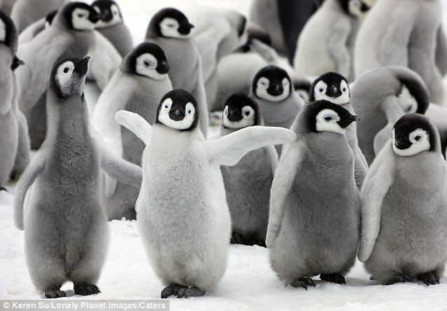 It's all about ME! A young Emperor Penguin takes his cue centre stage from the camera on Show Hill Island in Antartica
