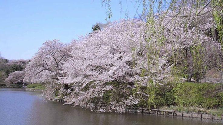 【桜名所100選】県立三ツ池公園(神奈川県横浜市)(Beautiful cherry blossoms /아름다운 벚꽃/ belles fle...