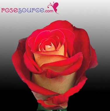52 best our bi color ecuadorian roses images on pinterest for What color is the friendship rose