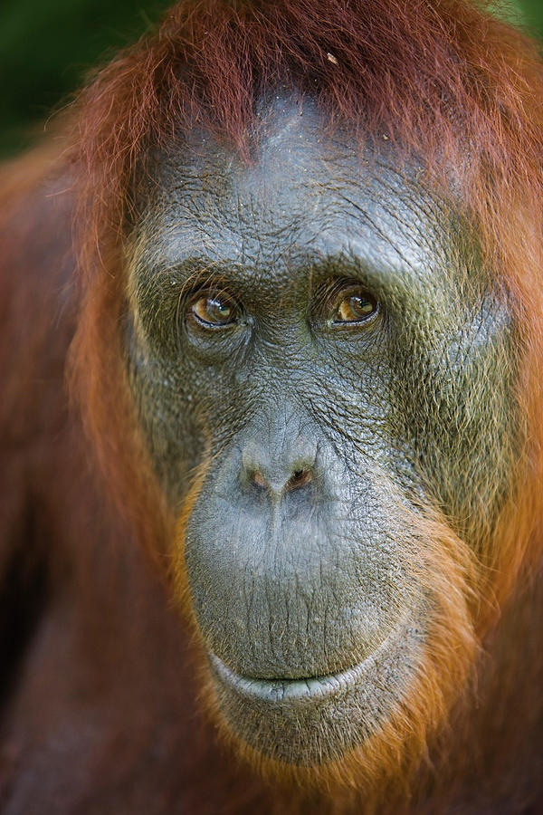 Female - The Bornean orangutan, Pongo pygmaeus, is a species of orangutan native to the island of Borneo. Together with the Sumatran orangutan, it belongs to the only genus of great apes native to Asia. Like the other great apes, orangutans are highly intelligent.