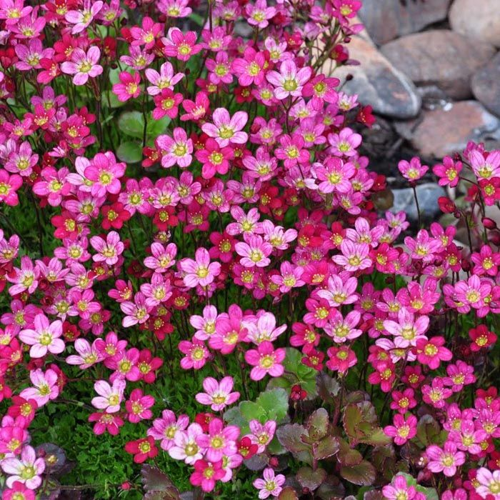Potted Saxifraga Plants Purple Robe On Sale Top Quality Plants Red Plants Plants Roof Garden Plants