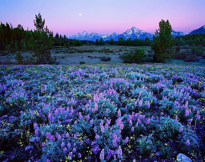 Alaska Basin Teton Grand Teton And Wild Flower Wyoming