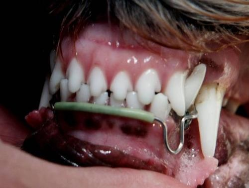 Dog with orthodontic appliance used to correct malocculsion. Malocculsion describes when the teeth do not line up correctly, this can include overbite, underbite, unstable jaw, and wry mouth.