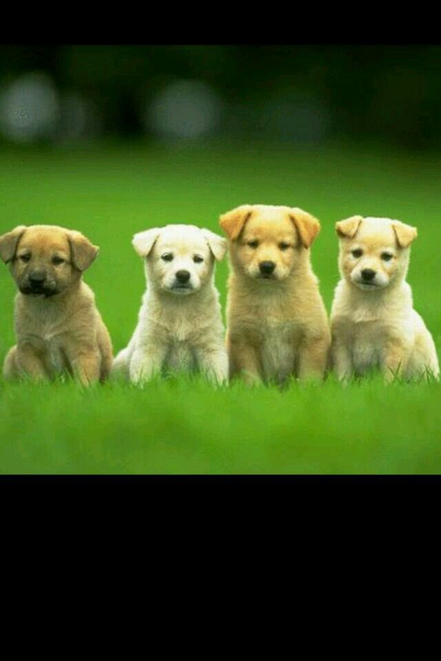 4 cute puppies in a row