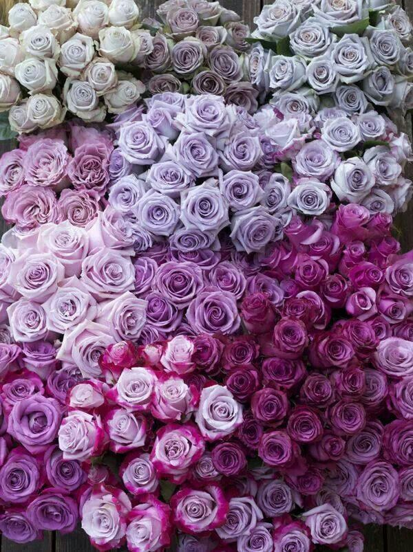 Lavender shades of Roses- Never saw so many shades of a flower in my favorite color.                                                                                                                                                      More