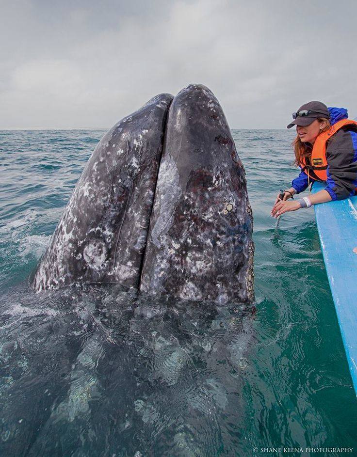 Mexican officials say the number of baby gray whales in Ojo de Liebre Lagoon is the highest in 20 years; diminished ice cover in the Arctic a likely factor.