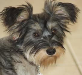 yorkie and shih tzu mix price best 25 yorkie shih tzu mix ideas only on pinterest 9972